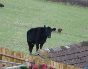 roofcow